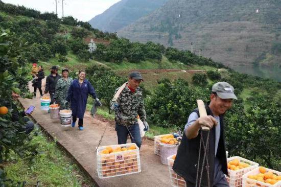 图为云阳红橙喜获丰收。云阳县融媒体中心 供图