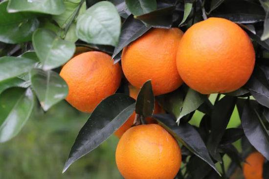 图为云阳红橙。云阳县融媒体中心 供图
