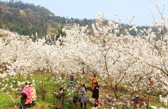 铜梁:樱桃花开幸福来 村民致富日子甜