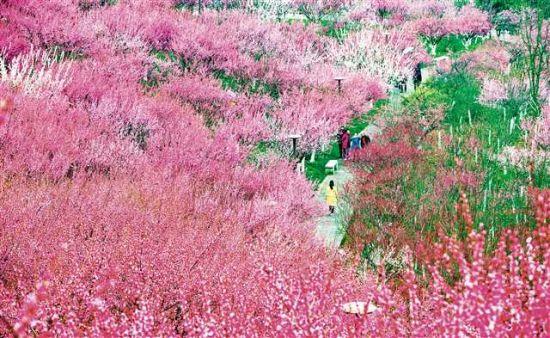 2月13日,万州太白岩山顶公园红梅怒放,引市民前来观赏。特约摄影 冉孟军/视觉重庆