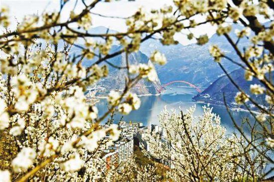 2月17日,巫山县,洁白的樱桃花与远山、碧水、彩虹桥交相辉映。 特约摄影 王忠虎/视觉重庆