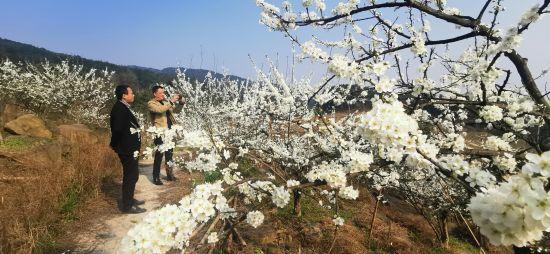 重庆铜梁:3000亩李花盛开如飘雪