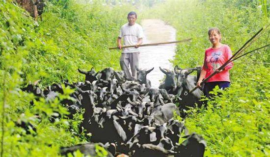 大足区中敖镇观寺村,村民正在放养黑山羊。(资料图片)特约摄影 瞿波/视觉重庆