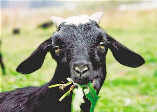 大足黑山羊。(受访者供图)