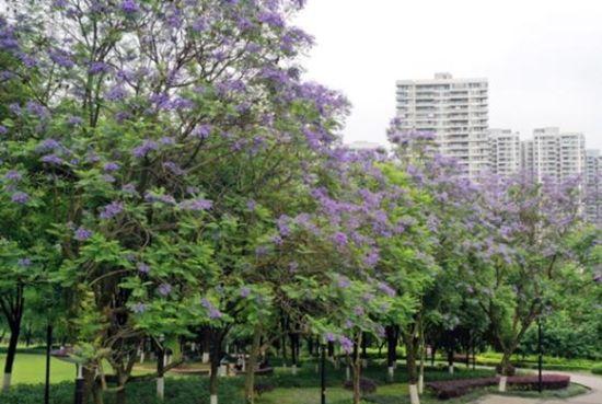 彩云湖健康主题公园内,蓝花楹盛开。王茂松 摄