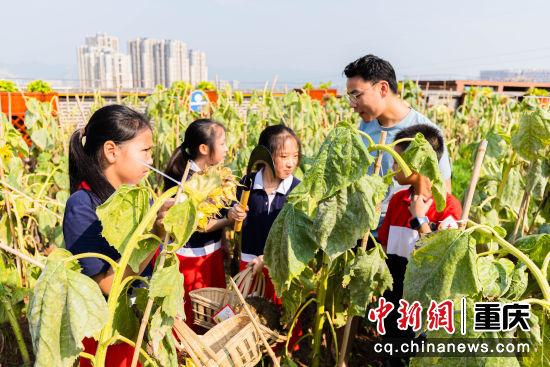 图为重庆两江新区星湖学校教师指导学生采摘向日葵。黄维正 摄