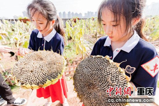 图为重庆两江新区星湖学校学生采摘向日葵。黄维正 摄