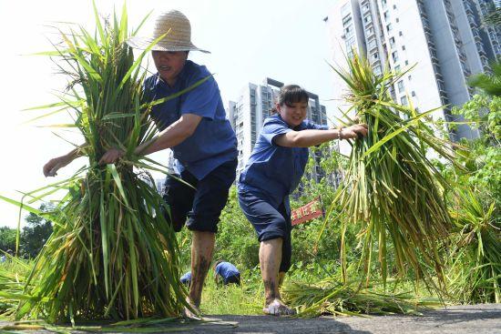 图为企业员工正在进行稻谷收割比赛。陈超 摄