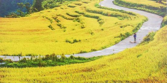 图为成片的稻田迎来秋收。巴南区融媒体中心供图