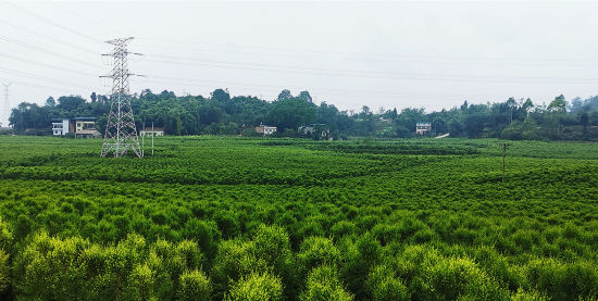 郁郁葱葱的茶树。赵武强 摄
