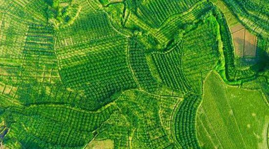 二号站平台APP江津:一粒小花椒造就富农大产业