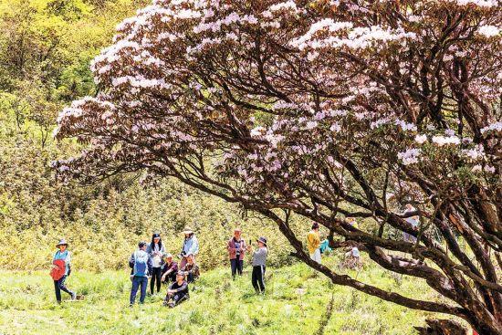 游客在南川区金佛山景区欣赏杜鹃花。(资料图片)特约摄影 瞿明斌\视觉重庆