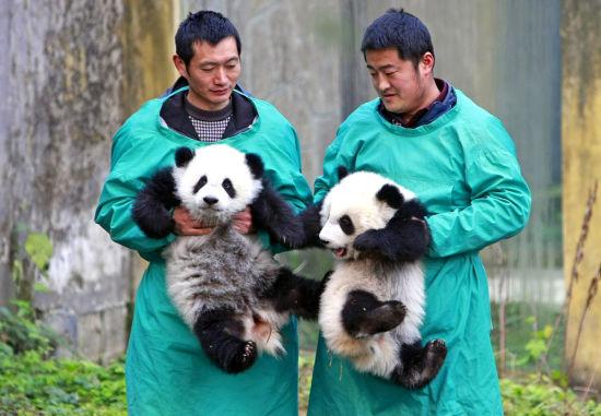 1月22日,重庆动物园熊猫馆,饲养员抱着大双(左)与小双同游客见面。 当日,2016年7月出生的大熊猫双胞胎大双与小双在重庆动物园正式与游客见面。饲养员将它们抱到室外运动场,第一次面对众多观众,大双与小双毫不怯场,憨态可掬、耍宝卖萌。 新华社记者 陈诚 摄