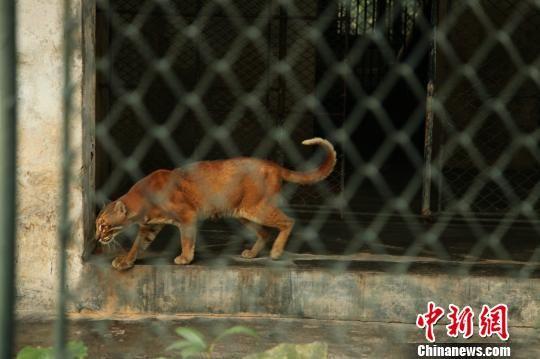 图为孙戈2014年11月在广州动物园拍摄的肌肉虬张的金猫. 孙戈 摄