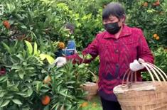 重慶果農自(zi)發采摘5萬(wan)斤臍橙馳援武漢抗疫一線