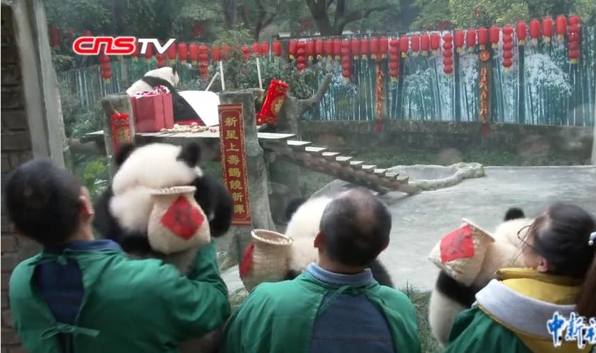 動物園熊貓(miao)寶寶向世(shi)界(jie)最老大(da)熊貓(miao)拜年